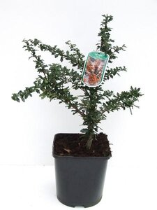 Berberis lol. 'Apricot Queen'