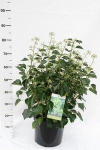 Hedera Helix arborescens 25-30 cm hoog, p3