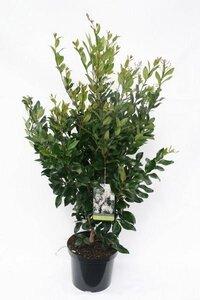 Ligustrum japonicum 'Texanum'