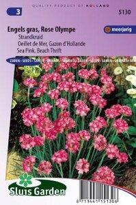 Armeria maritima -Olympe rose zaad bloemzaden