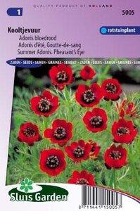 Adonis aestivalis - Bloedrood zaad bloemzaden